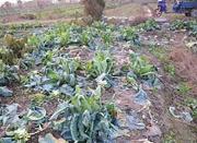 儿子没钱约会女友过圣诞 父子结伴偷586棵花菜