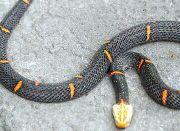 龙观发现喜马拉雅白头蛇 目前已放归大自然
