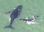 鲸鱼母子误入浅海搁浅 小鲸鱼设法推妈妈回大海