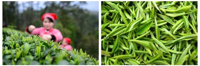 寒潮致宁波约10万亩茶园受冻 名优茶减产成定局