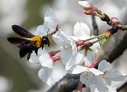 太子湾的樱花海 来自春天的礼物
