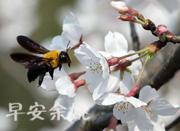 杭州太子湾的樱花海,来自春天的礼物,周末去看看