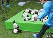 """熊猫宝宝不慎摔跤 摔成了""""世界最佳照片"""""""