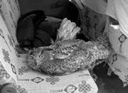 猫头鹰受伤困雪中 疑因饥饿啃食自己翅膀