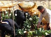老人种近200株罂粟当止咳药 称不知是毒品原材料
