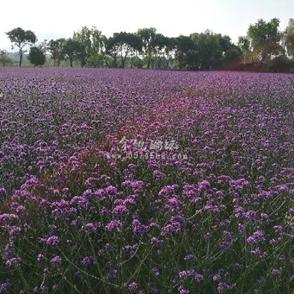 五月相约那片紫色花海